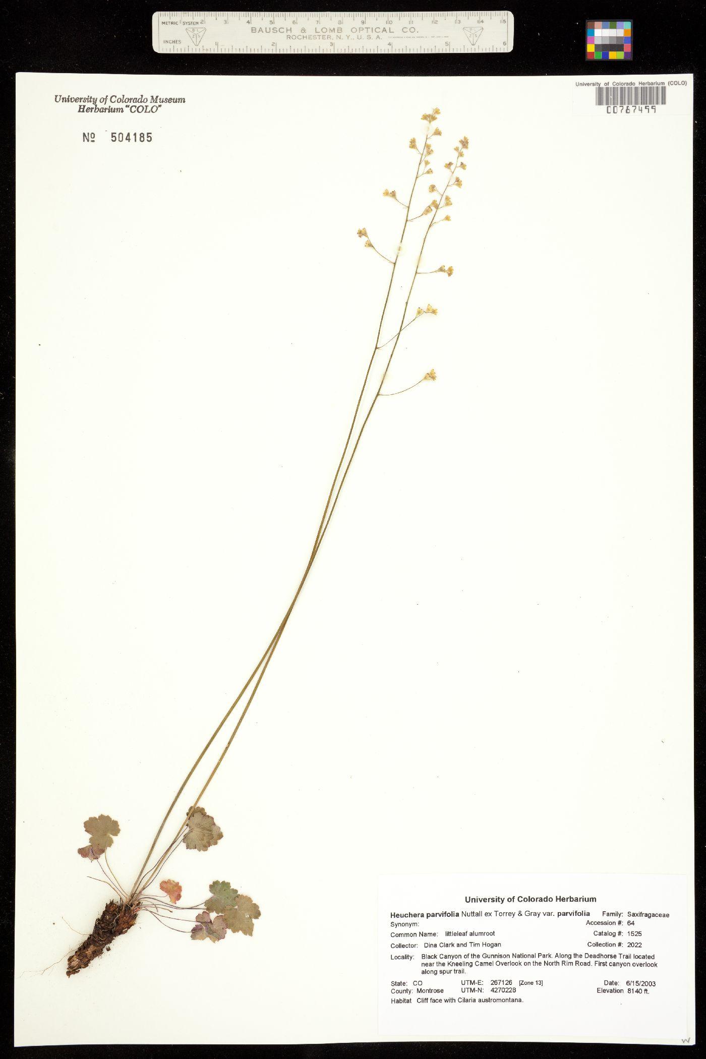 Heuchera parvifolia var. parvifolia image