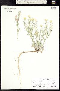 Physaria floribunda image