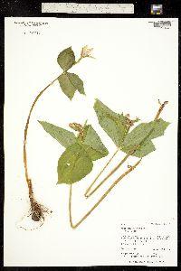 Trillium ovatum image