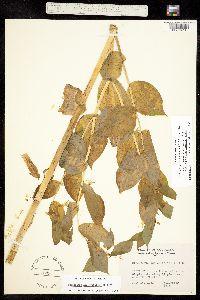 Streptopus fassettii image