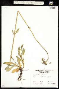 Valeriana acutiloba var. acutiloba image