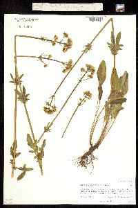 Valeriana occidentalis image