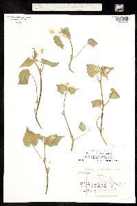 Viola canadensis var. rugulosa image