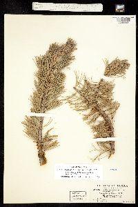 Arceuthobium cyanocarpum image