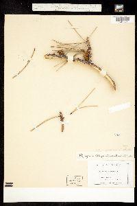 Arceuthobium vaginatum image