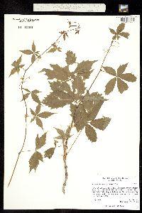Parthenocissus vitacea image