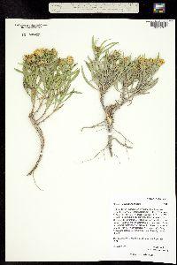 Image of Oönopsis wardii
