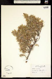 Juniperus communis subsp. alpina image