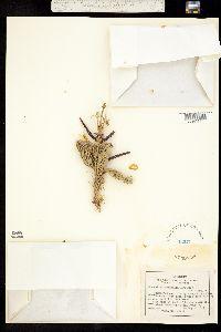 Abies lasiocarpa subsp. arizonica image