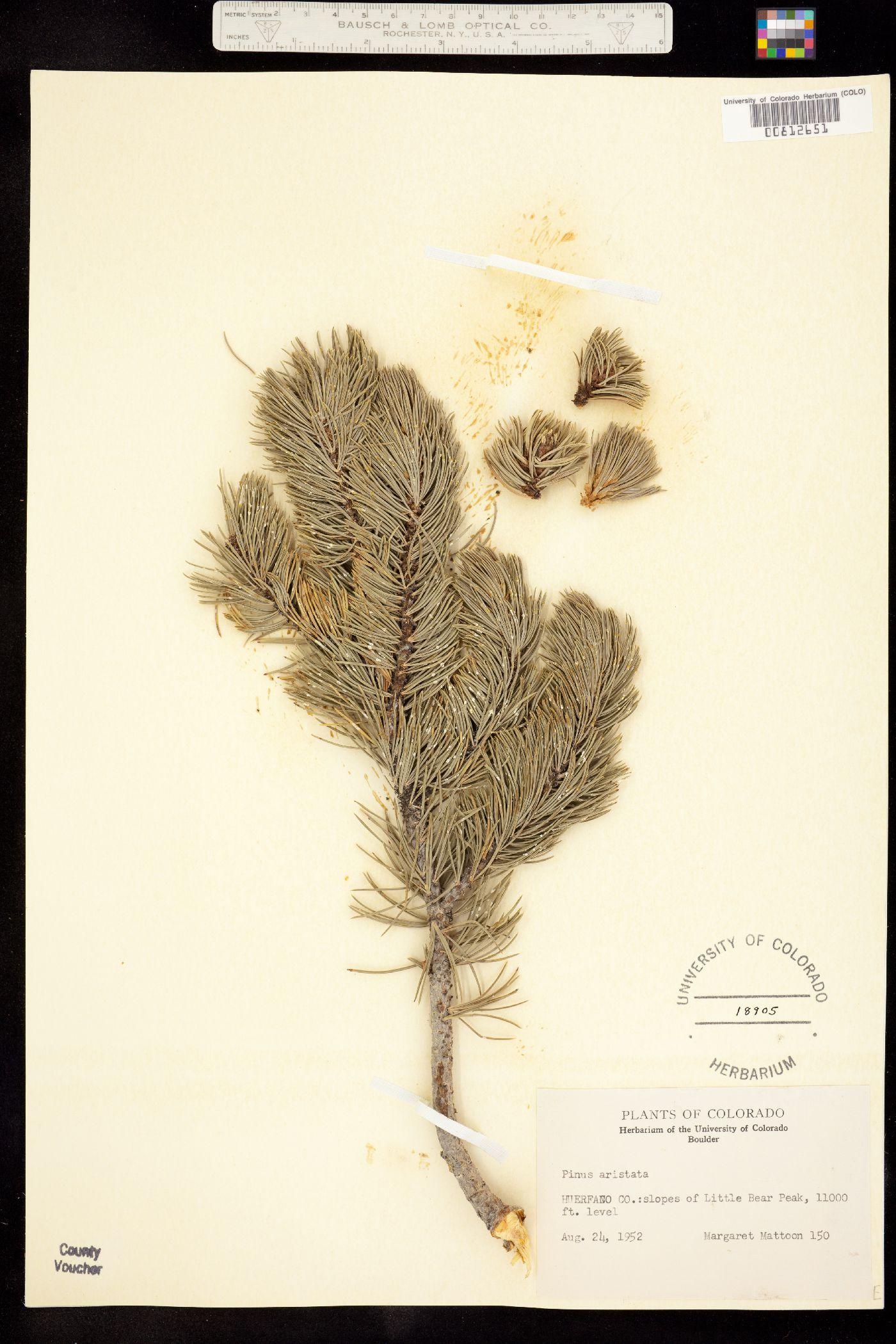 Pinus image