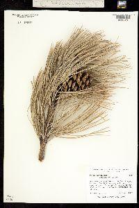 Pinus ponderosa ssp. scopulorum image