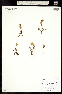 Chionophila jamesii image