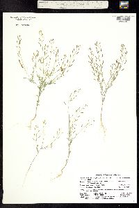 Descurainia incisa subsp. viscosa image