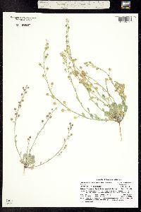 Physaria vicina image