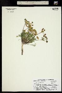 Image of Lomatium concinnum