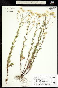 Image of Matricaria perforata