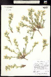 Image of Oreocarya gypsophila