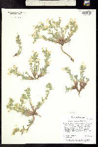 Oreocarya paradoxa image