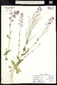 Thelypodiopsis juniperorum image