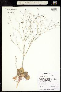 Image of Eriogonum gordonii