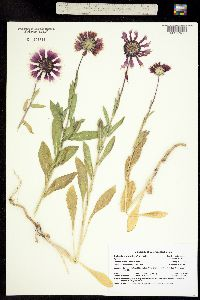 Image of Gaillardia x grandiflora