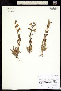 Image of Penstemon albidus