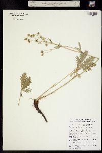 Image of Potentilla gracilis