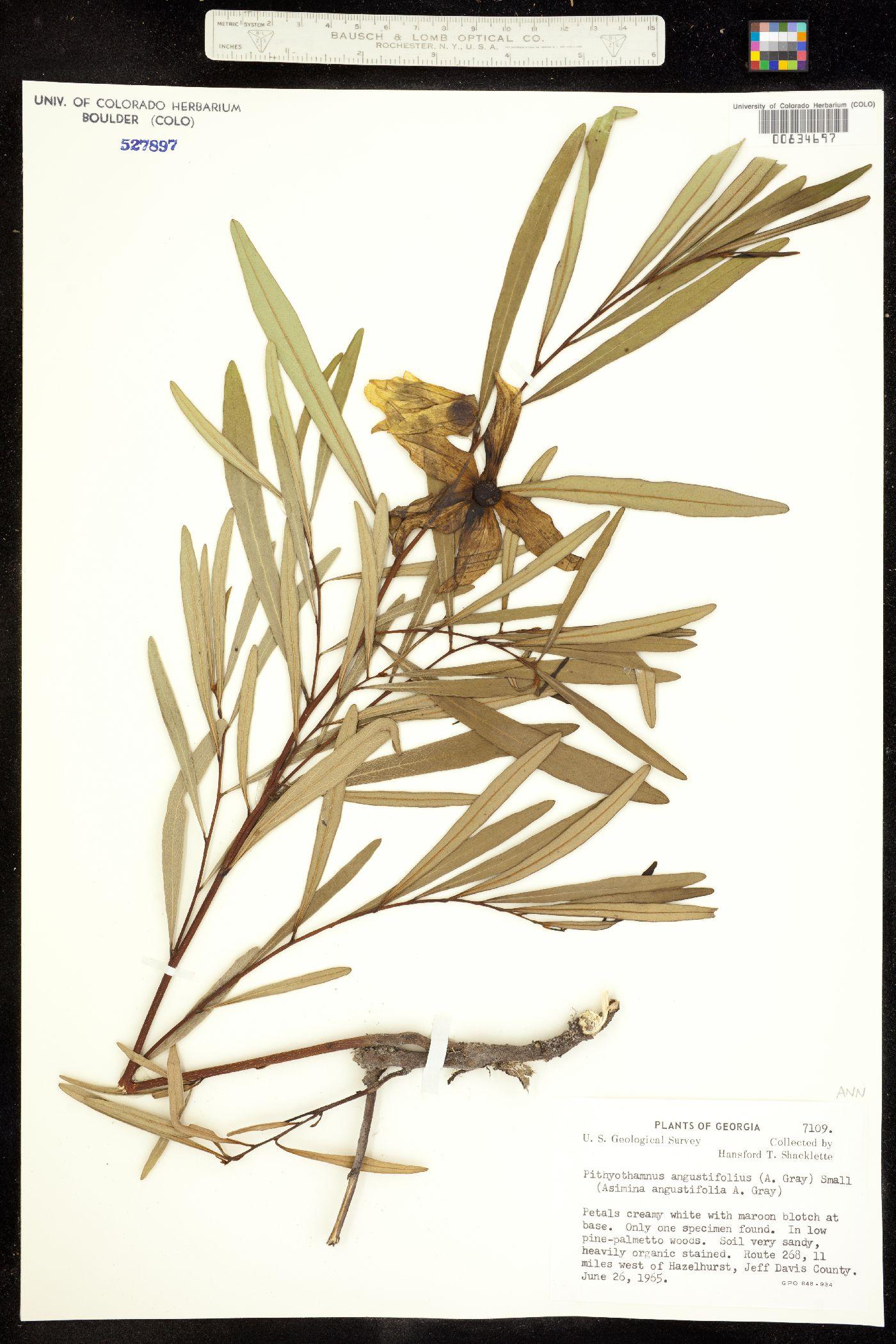 Asimina longifolia image