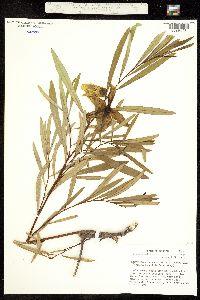 Image of Asimina longifolia