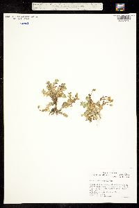 Image of Cerastium aleuticum