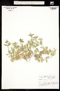 Image of Cerastium fischerianum
