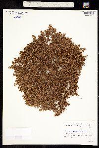 Image of Paronychia herniarioides