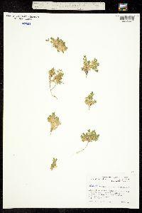 Image of Stellaria ruscifolia