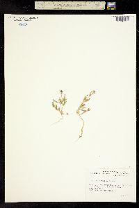 Image of Atriplex gmelini