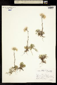 Image of Antennaria dioica