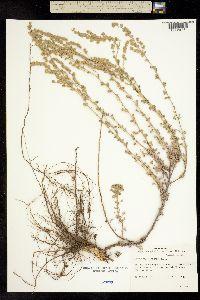 Image of Artemisia alaskana