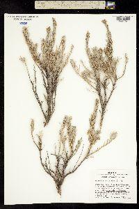 Image of Artemisia rigida