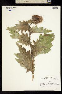 Image of Cirsium kamtschaticum