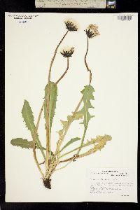 Taraxacum trigonolobum image