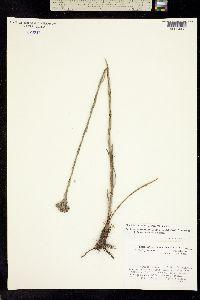 Image of Carphephorus paniculatus