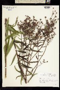 Image of Vernonia scaberrima