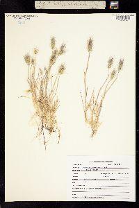 Image of Hordeum gussoneanum
