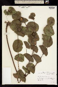Image of Baptisia perfoliata