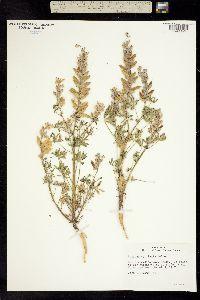 Image of Lupinus vallicola