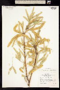 Image of Prosopis laevigata