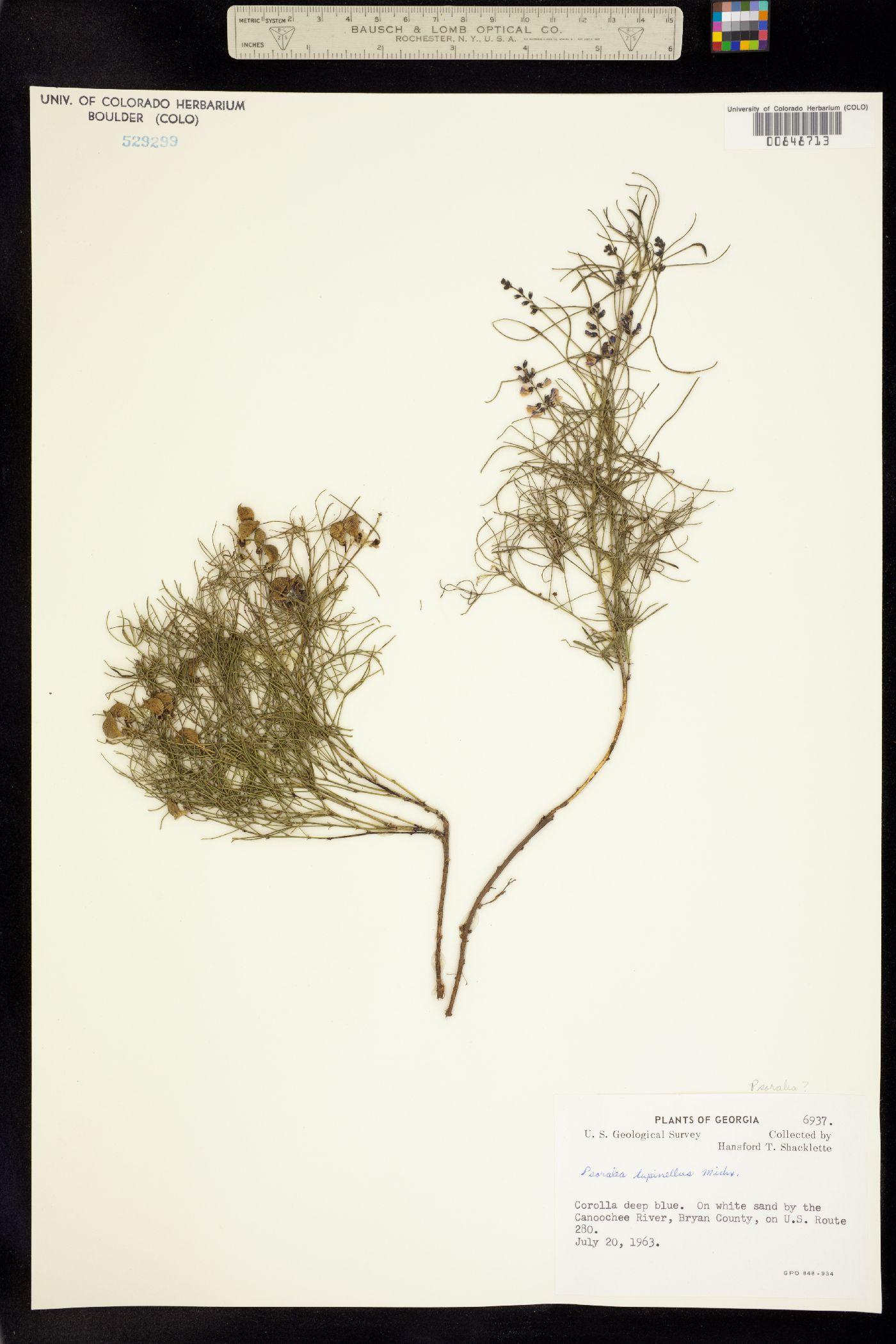 Orbexilum lupinellum image
