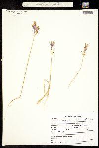 Triteleia laxa image
