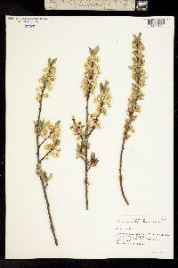 Image of Cerasus pumila
