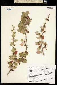 Ribes speciosum image