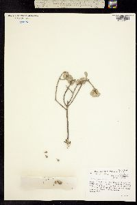 Image of Leucophyllum minus